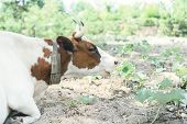 Cute Cow Lies On A Pasture Outdoors And Looks At The Camera. Pasture Of Bulls, Cows And Calves. poster