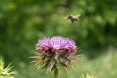 A Honeybee Covered In Pollen And Flying Over A Texas Purple Thistle Flower In Full Bloom As It Prepa poster