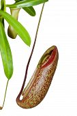 stock photo of nepenthes-mirabilis  - Trap flower  - JPG