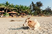 Indian Cow Chilling On Sandy Beach Of Goa, India. Happy Lazy For Tourists And Local Animals In Asia. poster