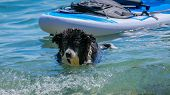 Funny Dog Is Swimming On Background A Sup Board. poster