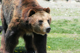 stock photo of grizzly bear  - Grizzly bear looking menacing - JPG