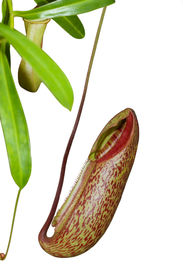 image of nepenthes-mirabilis  - Trap flower  - JPG