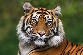 stock photo of hunter  - Portrait of an alert healthy bengal tiger - JPG