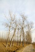 Poplars In Winter