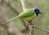 picture of songbird  - Photograph of a beautiful Green Jay - JPG