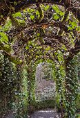 stock photo of english ivy  - Archway walkway with overhead  ivy vines and roots - JPG