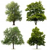 picture of walnut-tree  - Isolated Tree collection - JPG