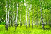 stock photo of birchwood  - Beautiful landscape  - JPG