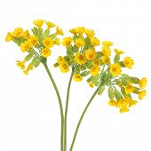 picture of cowslip  - Cowslip flowers over white background - JPG