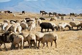stock photo of armenia  - flock of sheep grazing on autumn grass in mountain Armenia - JPG