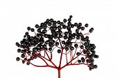 stock photo of elderberry  - Black Elderberry isolated on white background - JPG