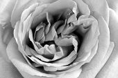 picture of white roses  - black and white rose up close - JPG