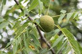 foto of walnut-tree  - Black walnuts surrounded by a green shell in tree  - JPG