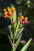 pic of larvae  - Two Monarch butterfly larvae feeding on a milkweed plant - JPG