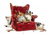 stock photo of australian shepherd  - Group of pets on a destroyed armchair - JPG