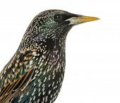 Close-up of a Common Starling, Sturnus vulgaris, isolated on white