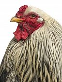 foto of brahma  - Close up of a Brahma Rooster - JPG