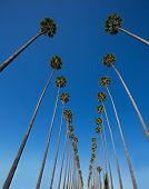 stock photo of washingtonia  - LA Los Angeles palm trees in a row typical California Washingtonia filifera - JPG