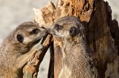 stock photo of meerkats  - Meerkats  - JPG