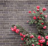 stock photo of climbing rose  - Climbing red roses on a brick wall of a house - JPG