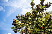 stock photo of aronia  - branch of fresh fruits of black chokeberry (aronia) against blue sky