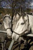 image of lipizzaner  - Trio of the famous white Lipizzaner stallions at the stables in Piber - JPG