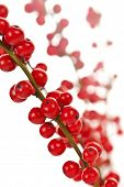 image of winterberry  - Winterberry Christmas branches with red holly berries - JPG