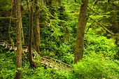picture of pacific rim  - Wooden path through temperate rain forest - JPG