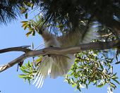 image of cockatoos  - Cockatoo on a branch trying to steady himself - JPG