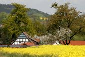 Timbered house with rape field in spring, Germany