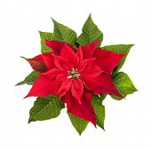 Red and green poinsettia plant for Christmas isolated on white background from above