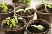 stock photo of germination  - Potted seedlings growing in biodegradable peat moss pots - JPG