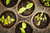 stock photo of germination  - Potted seedlings growing in biodegradable peat moss pots from above - JPG