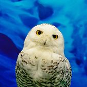 stock photo of snowy owl  - Closeup Snowy Owl Bubo scandiacus face profile - JPG