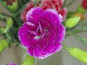 violet colored carnation flower closeup