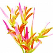 picture of sassy  - Pink Heliconia flower - JPG