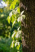 pic of creeper  - Creeper leaves on a tree trunk under a strong sun ray at the beginning of autumn - JPG