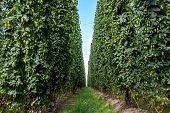 stock photo of bine  - Agricultural field with a ripening hop plants - JPG