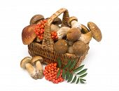 image of mountain-ash  - Basket with mushrooms and red berries of a mountain ash on a white background - JPG