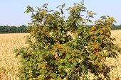 stock photo of rowan berry  - The orange berries on the rowan tree - JPG