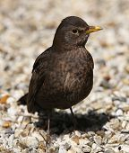 picture of cheeky  - Close up of a cheeky female Blackbird  - JPG