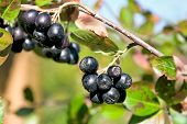 picture of choke  - ripe bunches of berries of black choke - JPG