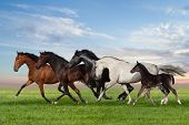 picture of galloping horse  - Group of five horses run gallop on gree grass against beautiful - JPG
