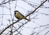 picture of tit  - Great Tit spotted in woodland in London UK