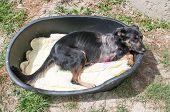 foto of amputation  - Injured Dog with its front leg amputated - JPG
