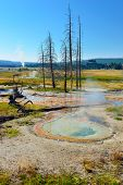 foto of walking dead  - steaming geyser and dead trees in Upper Geyser basin of Yellowstone National Park Wyoming - JPG