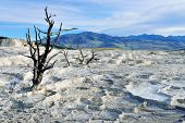 image of walking dead  - Dead trees in Mammoth Hot Springs area of Yellowstone National Park Wyoming - JPG
