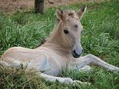 picture of bohemia  - Young white foal, southern Bohemia,. Czech Republic ** Note: Soft Focus at 100%, best at smaller sizes - JPG