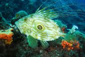 picture of dory  - Underwater image of a John Dory fish
